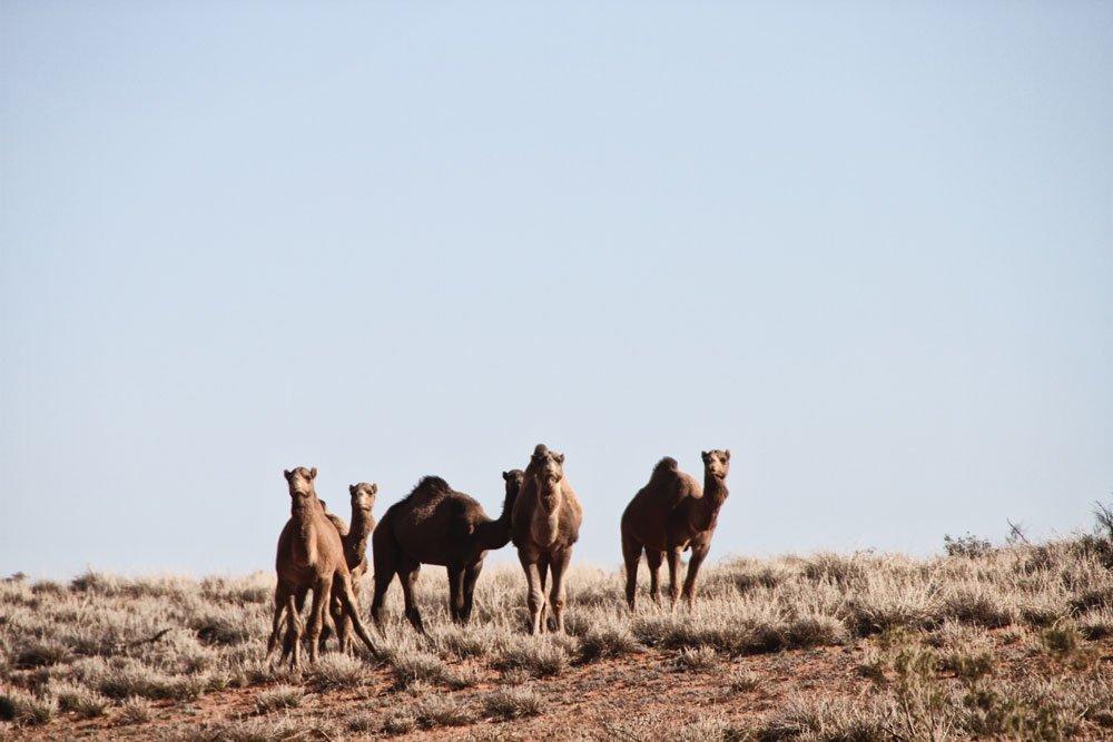 Australian Feral Camels