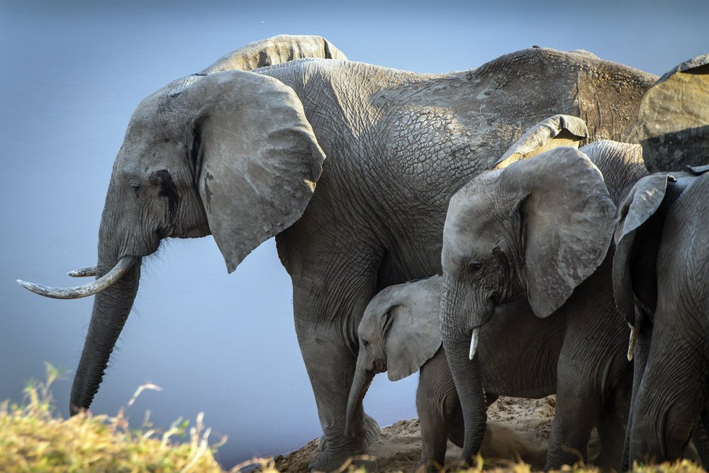Zambian Elephants