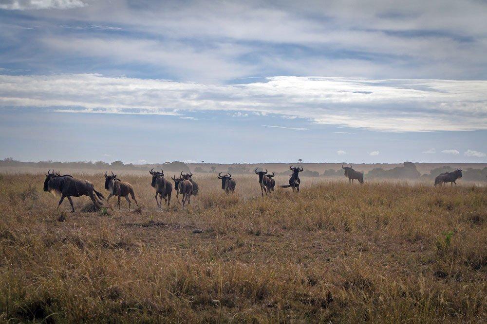 Wildebeest scatter