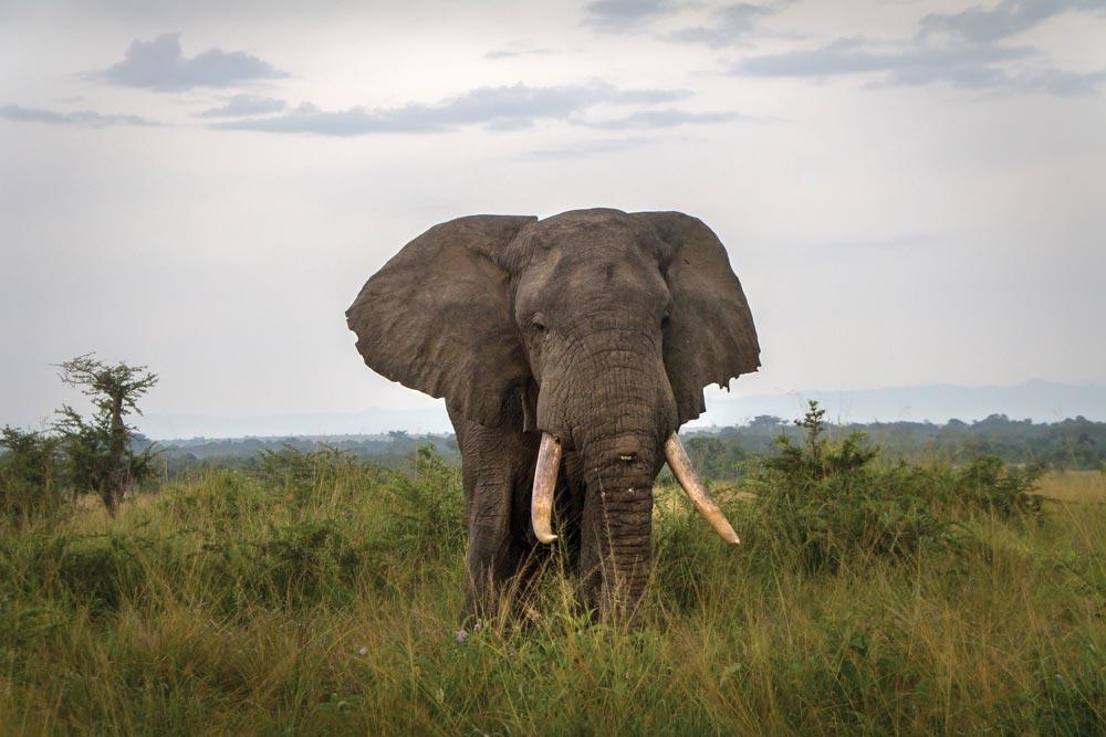 Elephant in the wild of Uganda