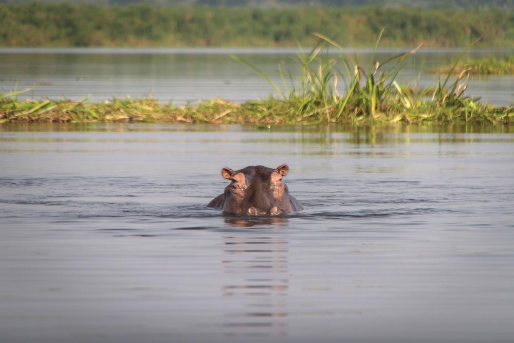 Hippo peeking above the water