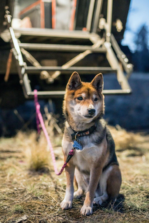 Maggie, the family's Shiba Inu