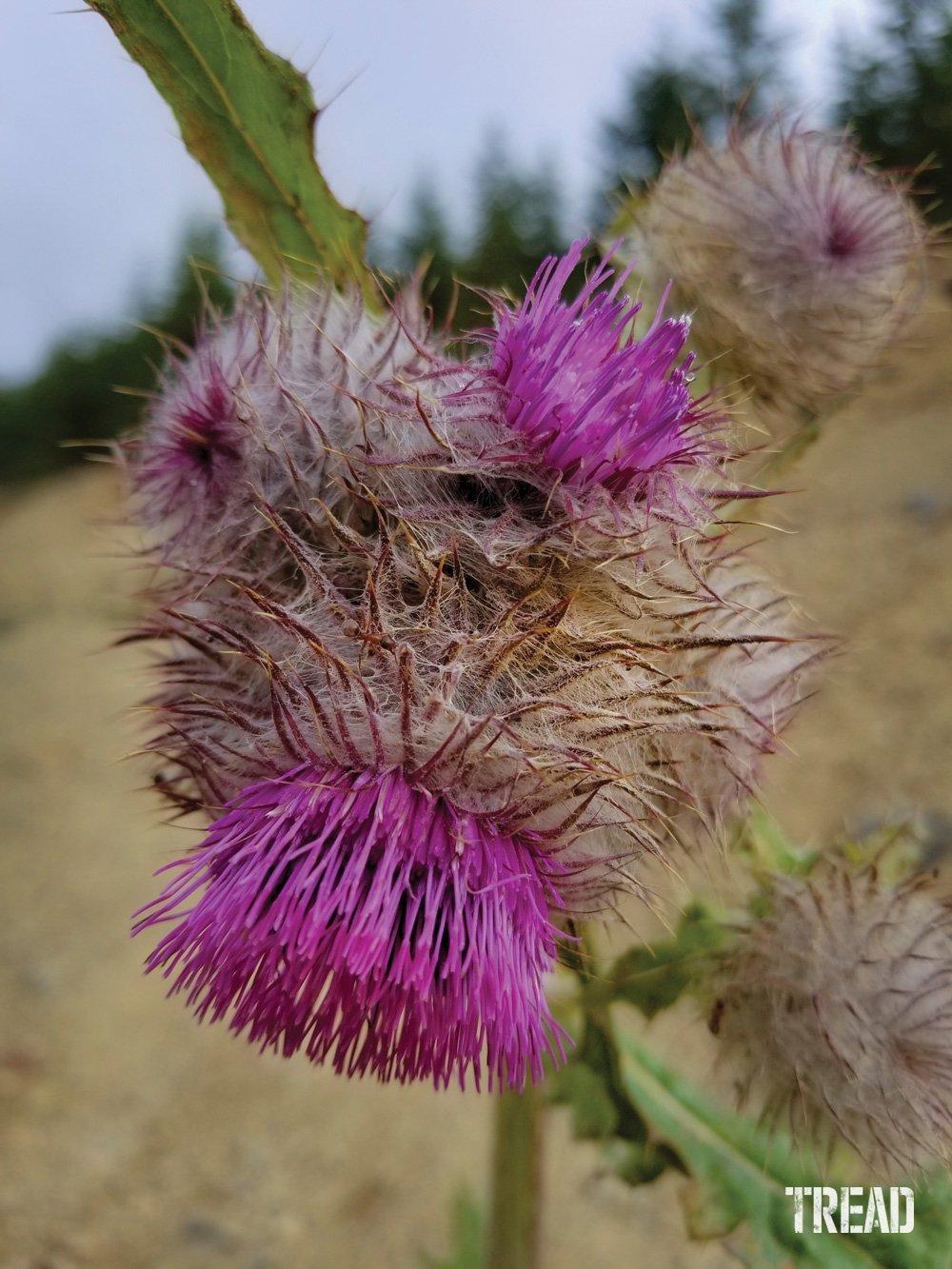 Wild thistle plant