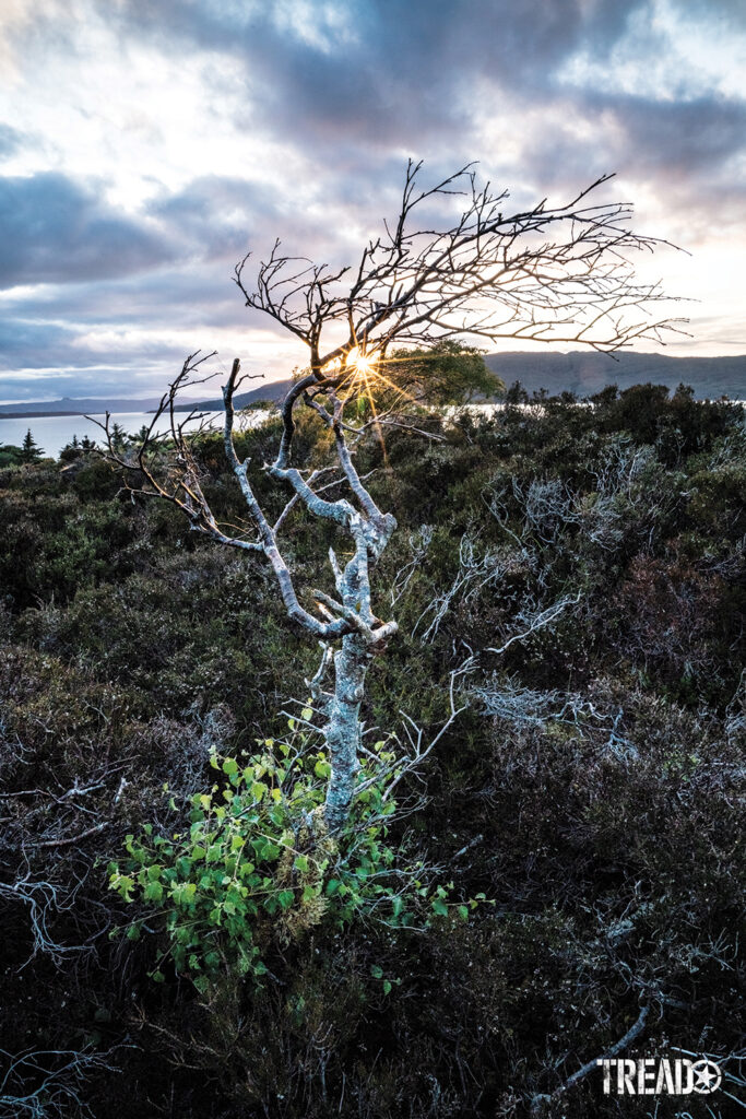 A leafless tree twists its way to a partly cloudy sky and peeking sun as it protrudes from the thick ground cover.
