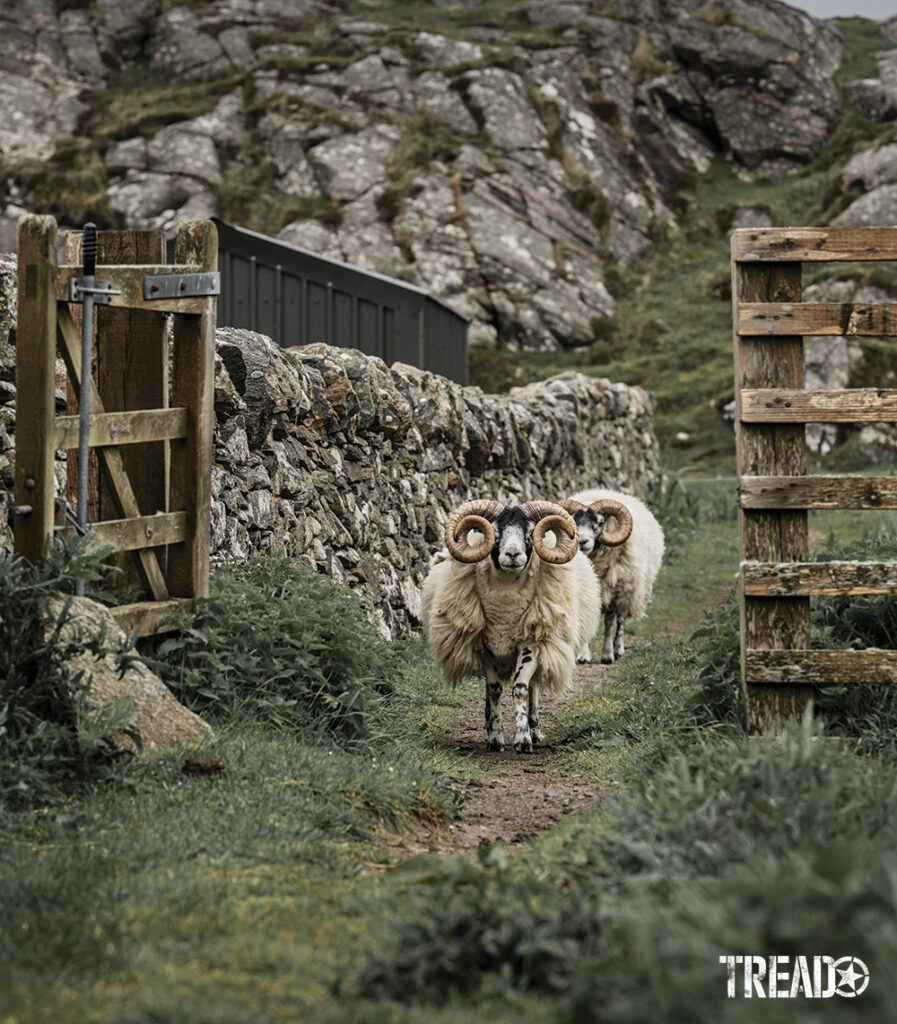 Two Scotland sheep are walking down a pathway between a rock wall and old wooden fence.